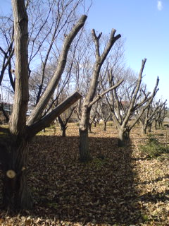栗の木剪定