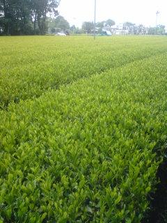新茶刈り採り2日目