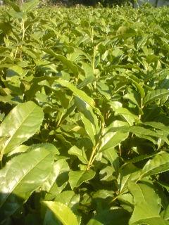 秋番茶の刈り採り