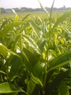 秋番茶の芽